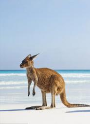 Kangaroo at the beach
